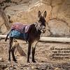 046 - Mary probably rode on a donkey to Bethlehem