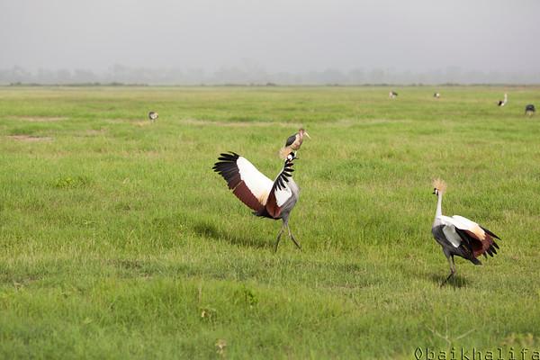 Crowned Crane mating dance