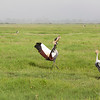 Crowned Crane mating dance