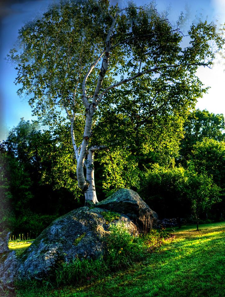 white birch tree growing from tree, Hillsboro center, New Hampshire