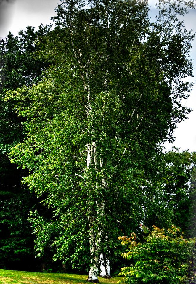 white birch trees, Hillsboro Center, New Hampshire