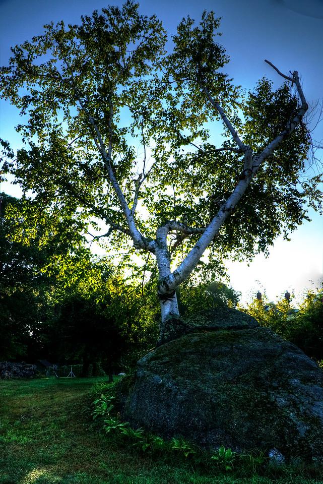 white birch tree growing from rock, Hillsboro Center, New Hampshire