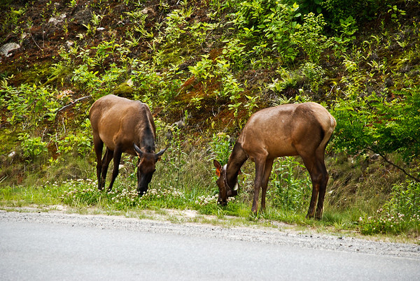 Moose that were released and have tracking devices.