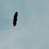 I captured an Eagle in flight