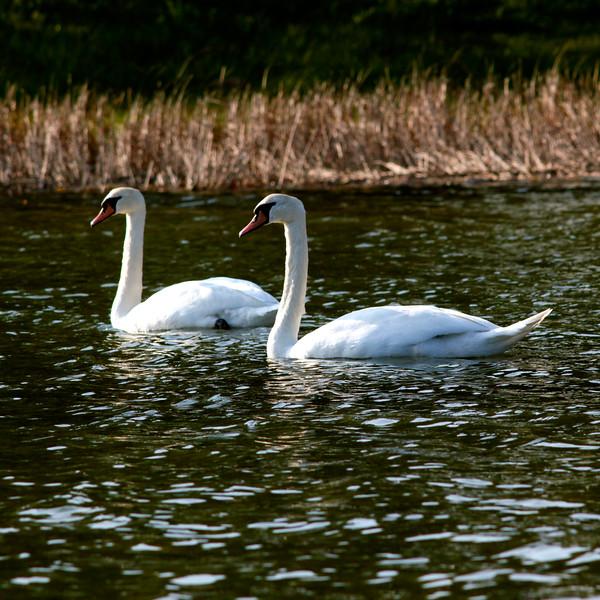 Norway. Swans / Норвегия. Лебеди