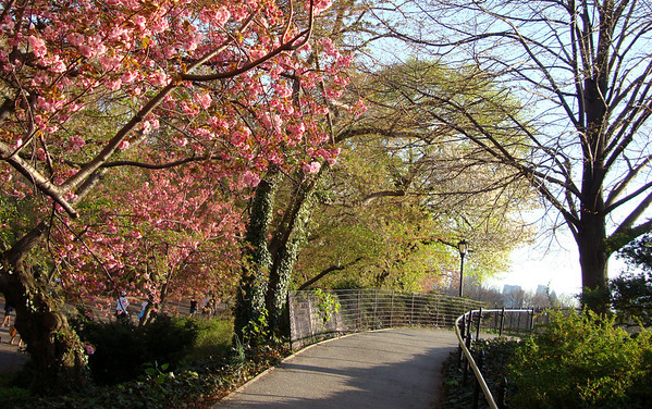 Cherry blossoms along the reservoir in Central Park, New York City.