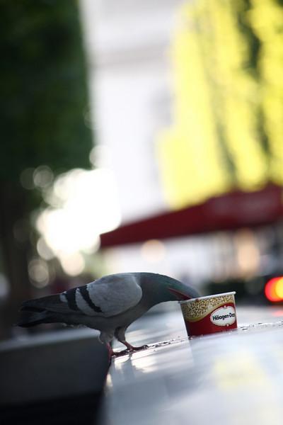 Parisian pigeon & Hagen-Dazs left-over in Champs Elysees