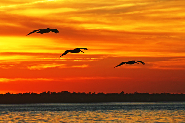 ~ PELICANS AT SUNSET