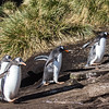 Gentoo penguins climbing the hill to nest.  1 of series.