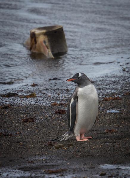 Gentoo penguins were here too.