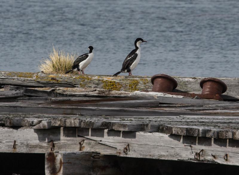 Antarctic Shags on an old dock.
