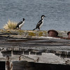 Antarctic Shags on an old dock.