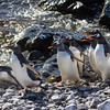 Gentoo penguins preparing to dive into the sea . . . 1 of series.