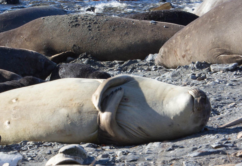Seal relaxing on beach.  Note flipper that are folded and the smile on her face!