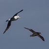 Ship followers - Black Browed albatross on left and Northern Giant Petrel on right.