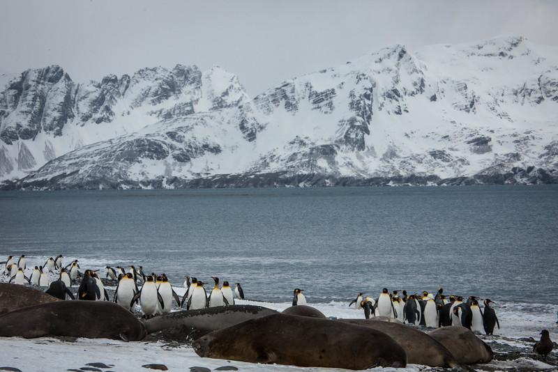 King penguins and Elephant Seals - hugh populations of both on Salisbury Plain.