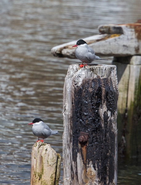 Antarctic Terns on some posts.