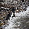 Penguins diving . . . 3