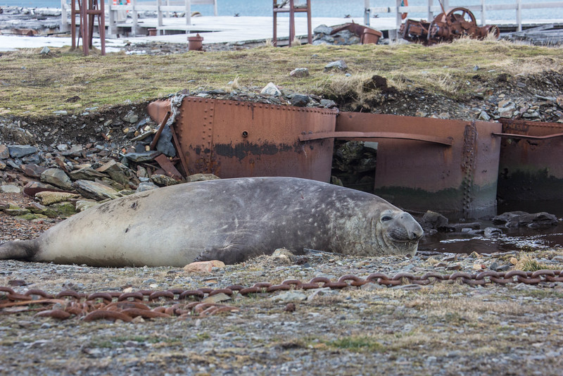 And a young male elephant seal lounges near the old equipment.