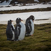 Gentoo penguins live here - they are smaller than the Kings and don't have the orange coloring.