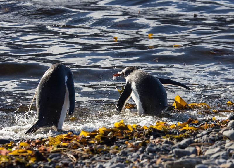 Penguins diving . . . 2