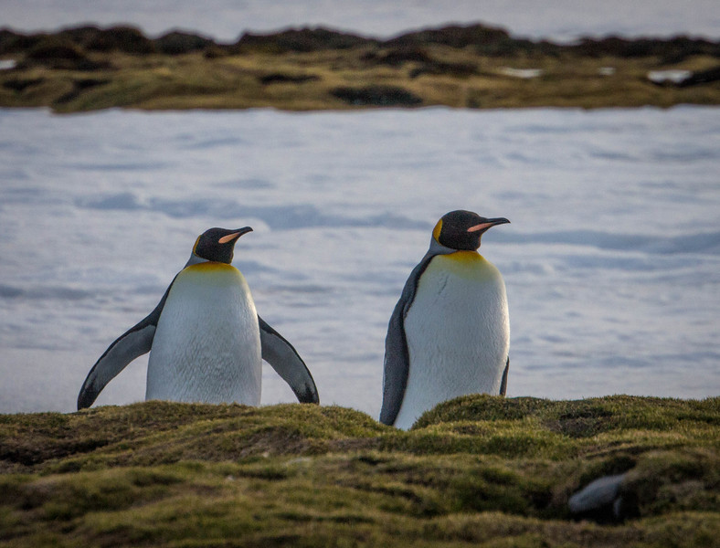 There also are King penguins here, too.