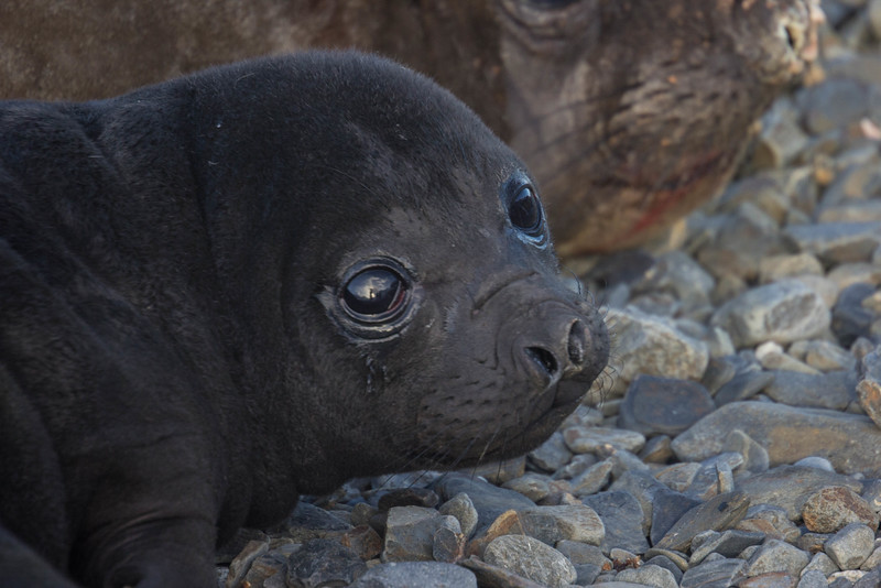 Baby elephant seal - look at those eyes!