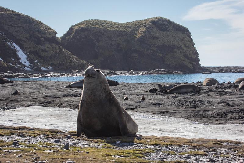 Perky male elephant seal!