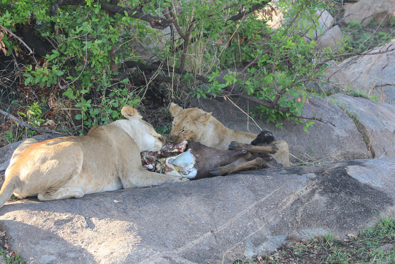 E07 Lions in the Rocks