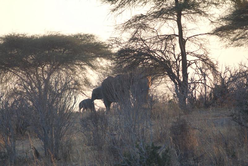 Lions Organize Buffalo Hunt, but Elephants Continue On
