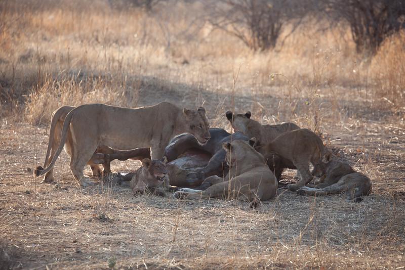 O04 Lions at Buff Kills