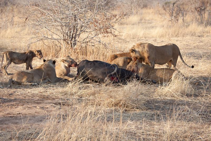 O07 Lions at Buff Kills
