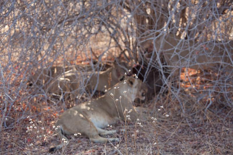 O06 Lions at Buff Kills