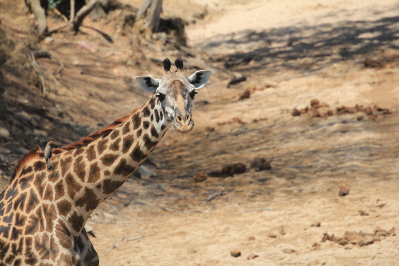 giraffe takes a drink