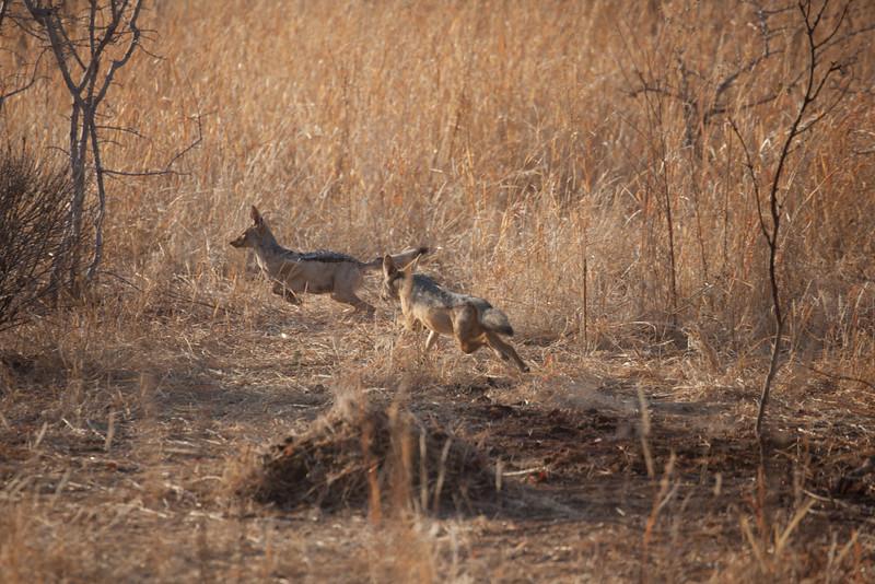 O05 Lions at Buff Kills
