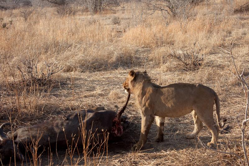 O09 Lions at Buff Kills