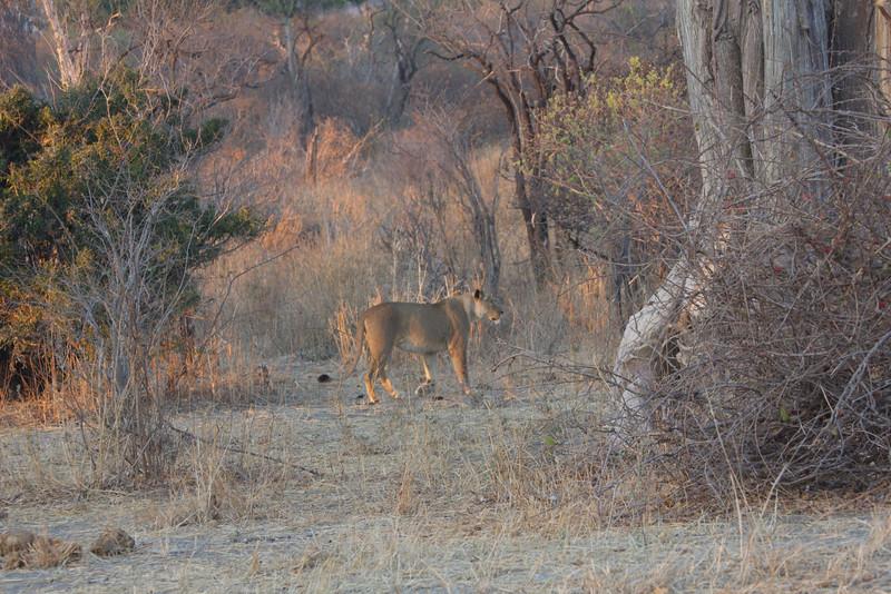 Lions Organize Buffalo Hunt