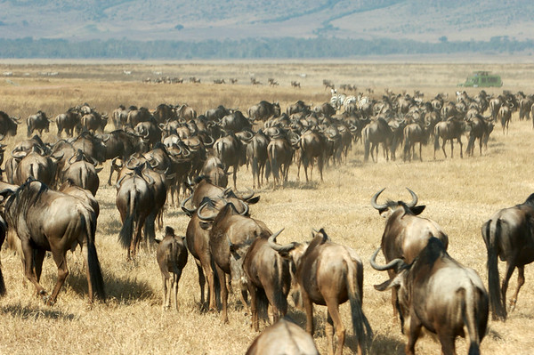 Migration, Ngorongoro, Tanzania