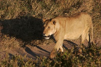 Lion, Serengeti Park, Tanzania