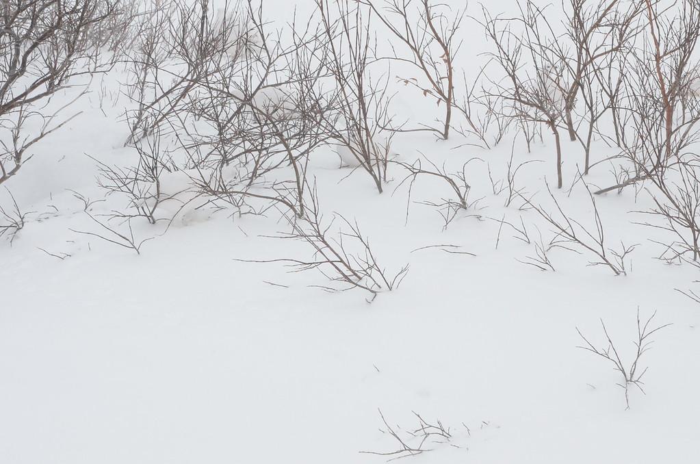 CAN YOU FIND THE FOUR PTARMIGAN ??  (Birds)