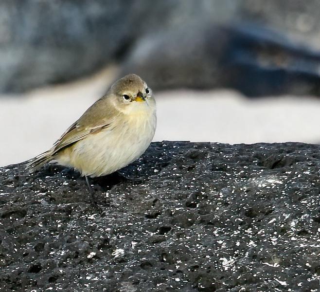 Gray warbler Finch