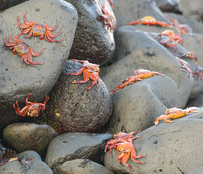 Sally Lightfoot crabs. When attacked by a predator, they are capable of shedding a leg if necessary - in time, it will grow back.