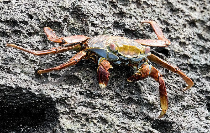 Crabs in general, take oxygen from water (the same as fish). When on land, they carry around some water inside their shell and swish it passed their gills from time to time in order to breathe.