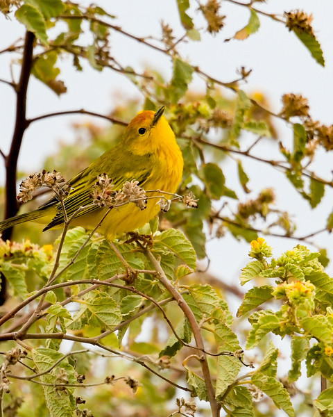 yellow Warbler (Santa Cruz)