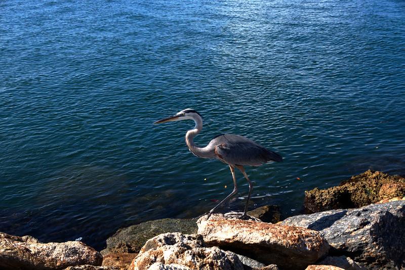 Venice, Florida Jetty - Heron
