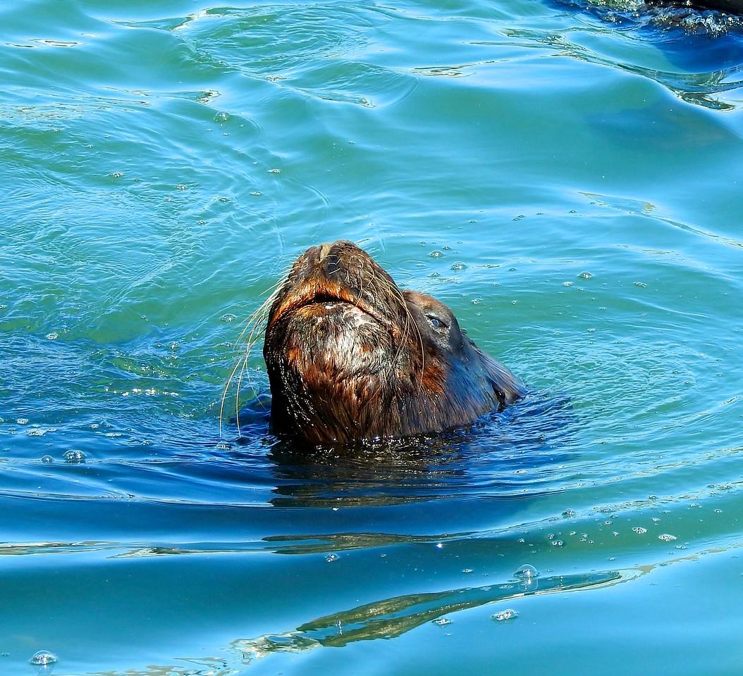 Sea Lion, Punta del Este, Uruguay