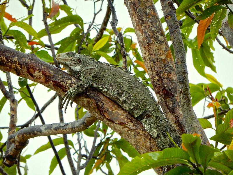 Sleeping Iguana, Amazon River, Brazil