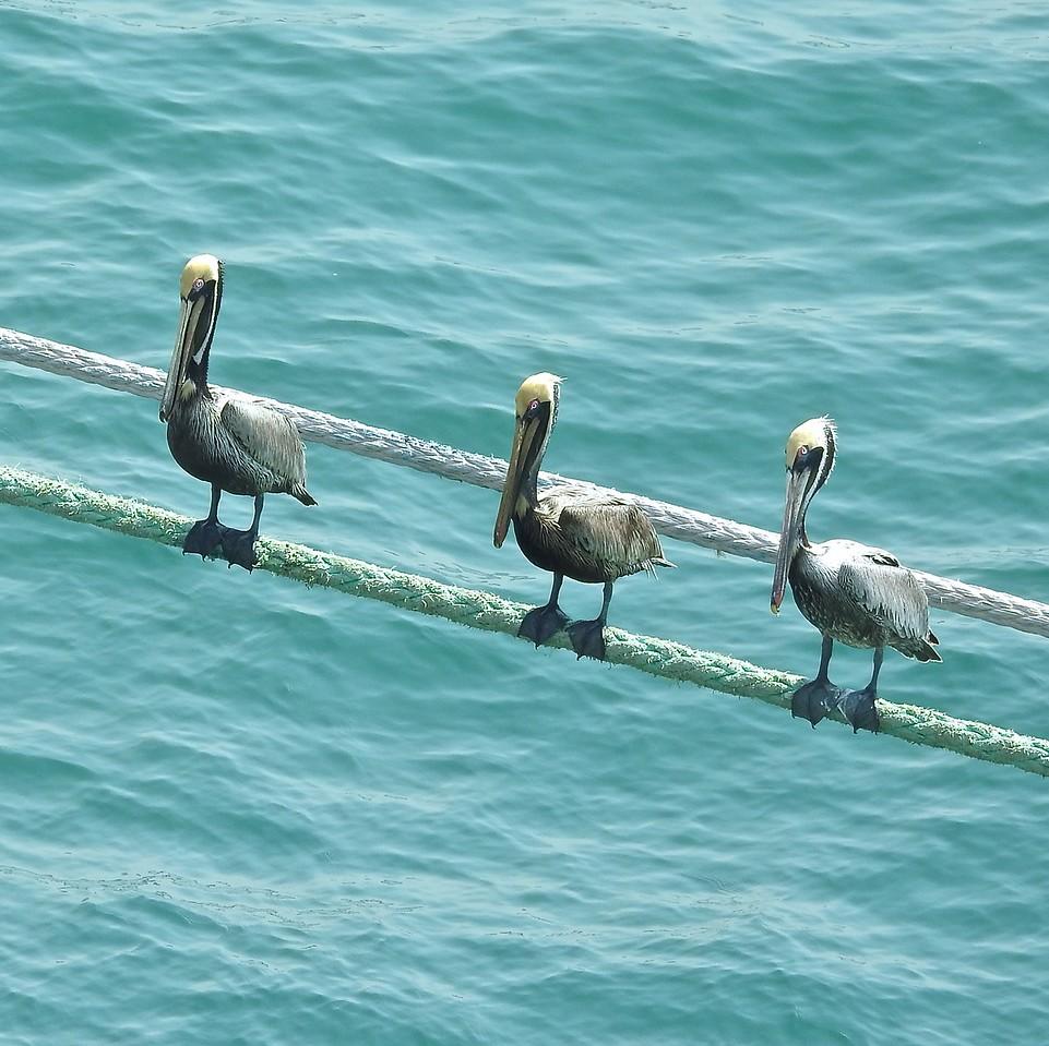 Cartagena Pelicans