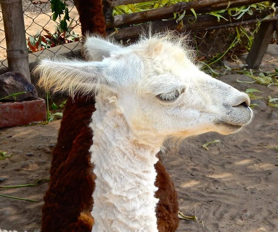 Lima Llama
