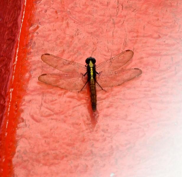 Dragon Fly, Amazon River, Brazil